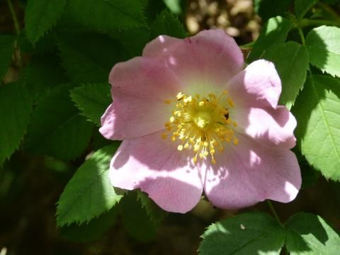 Dog Rose: the witches briar | The Nature of Dorset