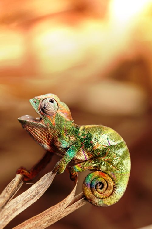 Beautiful Nature : Photo Chameleon