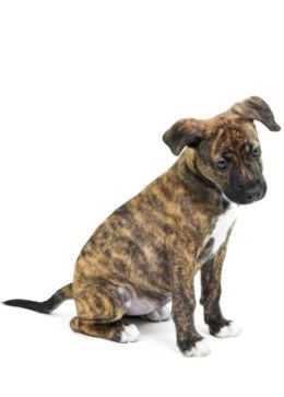 brindle pit bull- i wish i had my dog as a puppy! She would have looked like this! sooo cute <3