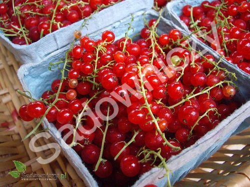 #Porzeczka czerwona w balocie #krzew #ogród Sklep Internetowy Wysyłka gratis od 99zł http://www.sadowniczy.pl/product-pol-10399-Porzeczka-czerwona-w-balocie.html?utm_source=pucek&utm_medium=pin
