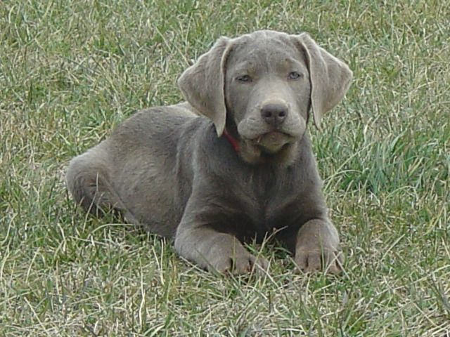 silver labrador retrievers | Ellendale Labradors - Our Dogs, Reserving Your Puppy & Purchasing ...