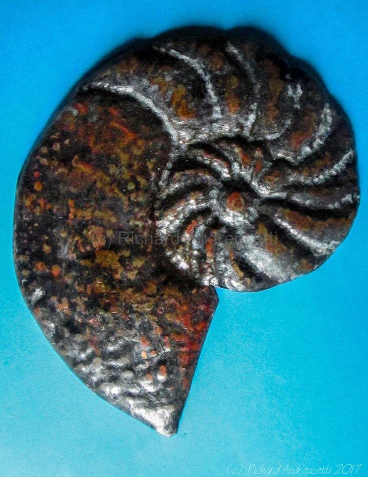 Metallic Nautilus, Medium Copper (c) Richard Andreucetti #copper #patina #art #artist #nautili #nautilus