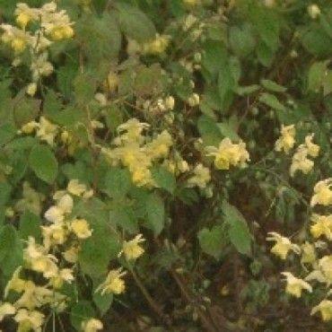 1 Elfenbloem (Epimedium versicolor 'Sulphureum')-directplant