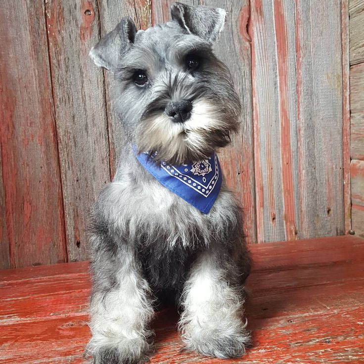 See this Instagram photo by @the_schnauzer_house • 261 likes