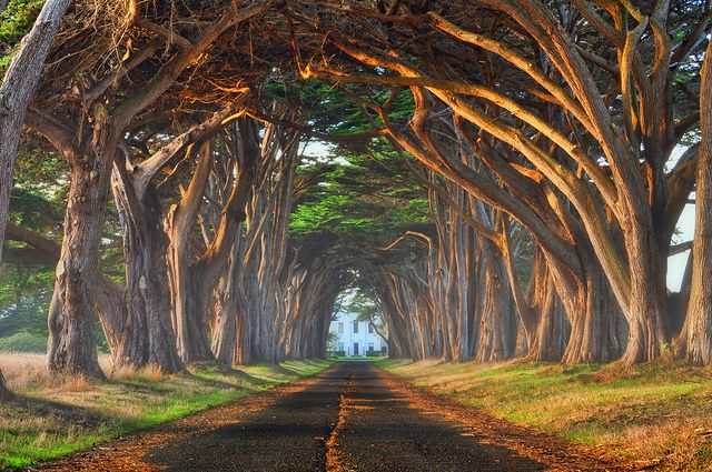 The Iconic Tunnel of Monterey Cypress Trees leading to the RCA Marconi Coast Station in Point Reyes.