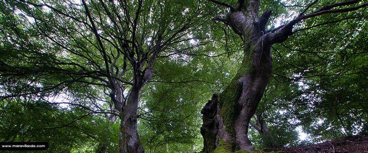 Situado en el Pirineo oriental de Navarra, su extensión de más de 17.000 hectáreas lo convierten en uno de los bosques de hayas más grandes de Europa y en mejor estado de conservación.