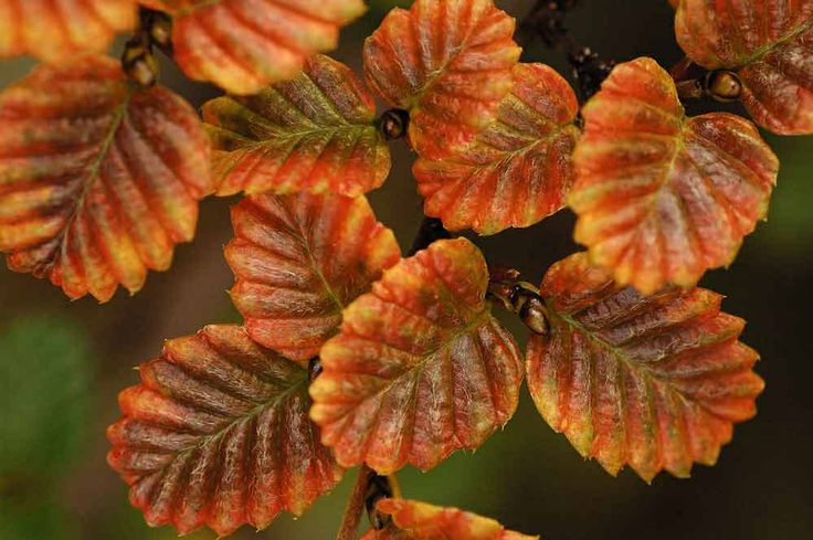 Tangle-foot Beech (Nothofagus gunnii) A deciduous shrub native to Tasmania where it is the only winter-deciduous plant.