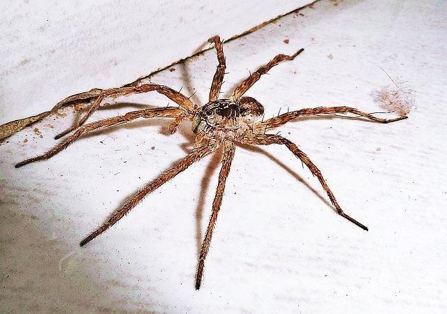 Como fazer um repelente caseiro para aranhas. Se em sua casa costumam aparecer aranhas, é hora de tomar medidas para acabar com a presença destes insetos e suas temidas picadas. Se não quiser usar um produto comercial, você pode preparar a sua pr...