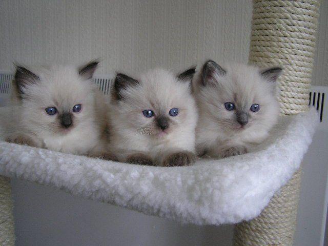 Pequeños gatitos lindos - foro de la comida para gatos, la salud y suministros