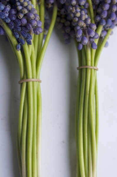 Bunches of  'muscari ' grape hyacinths: Grape Hyacinth, Spring Green, Spring Beautiful Flower, Colors Combos, Purple Flowers, Flowersbeauti Flower, Green Flower, Flower Beautiful Flower, Spring Treats