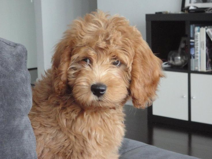 Conan the Toy Goldendoodle