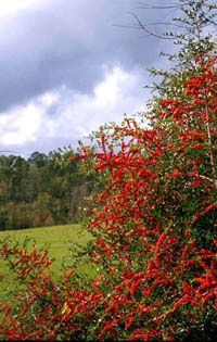 17 Best Images About Eastern Nc Native Plants That Can Be