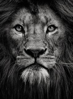majestic lion drawing - Google Search
