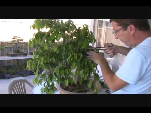 Ficus Bonsai Two Years Later