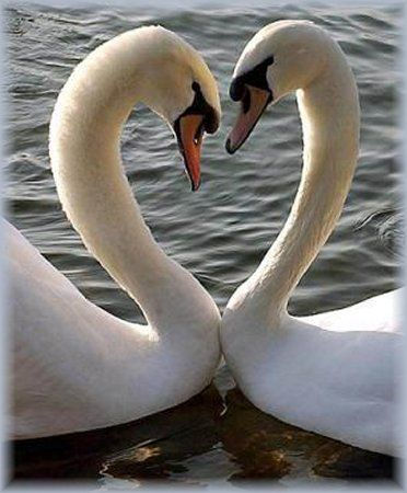 Swan love!  You can find this at Lake Balaton in Hungary!