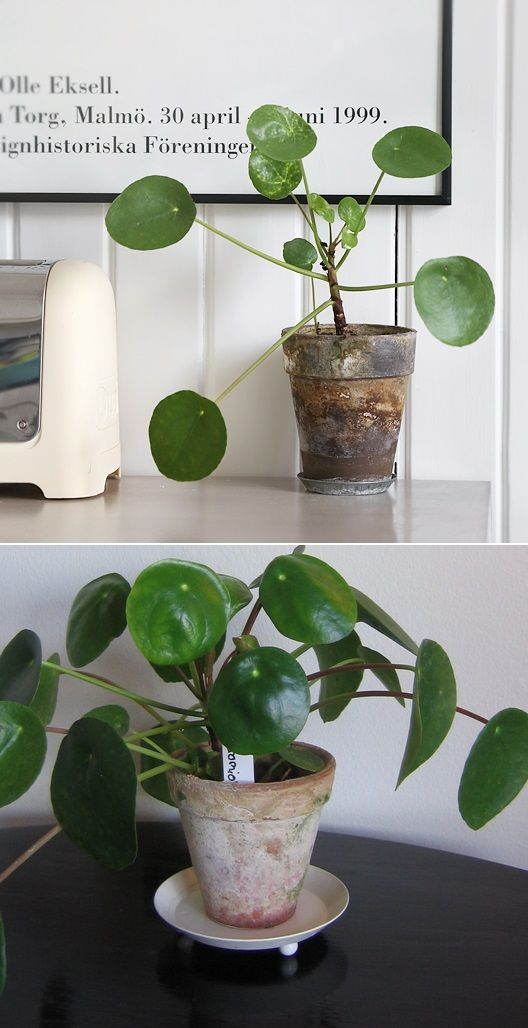 Elefantora plantes int rieures indoor plants for Plantes interieures