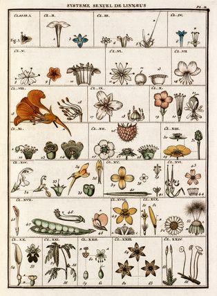 Jean Baptiste François Bulliard -- Plate II -- Botanical Plates -- RHS Prints