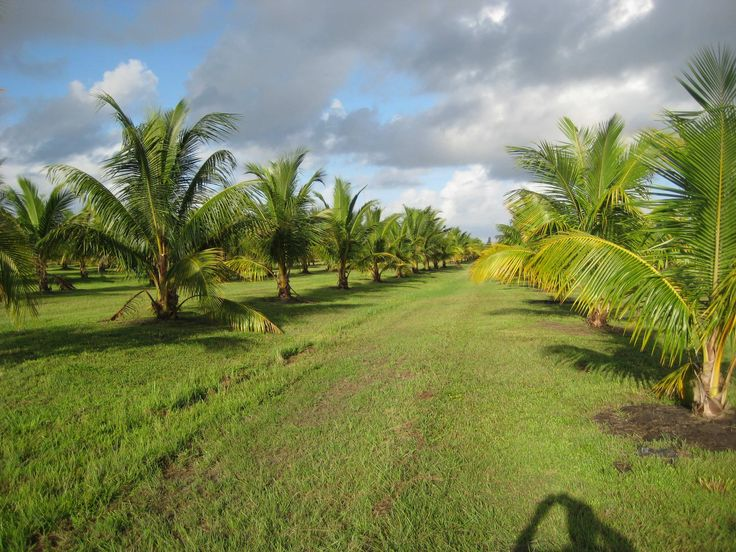 RodLa Construction LTD. This is one of the 20 acre parcels of land that we have coconut trees planted on. RodLa will support and be a big part of the coconut industry in Belize.