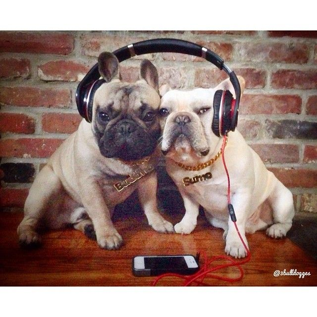"""""""We got our 'Cans On', it's all good"""", French Bulldogs, by 3bulldogges"""