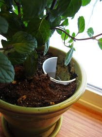 Watering Plants from Their Base: Growing Mint Indoors | Urban Femme to Farmer's Wife