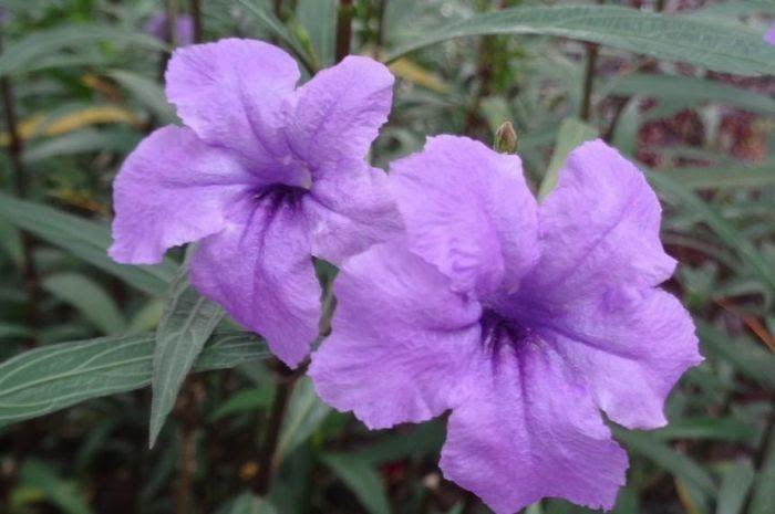 Terpopuler 30 Gambar Bunga Warna Putih Dan Namanya Kencana Ungu Bunga Ungu Kecil Penghias Taman Semua Download Filosofi Da Di 2020 Bunga Bunga Ungu Kembang Sepatu
