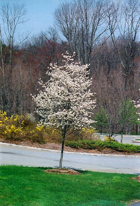 Chalet Nursery And Garden Center: Cumulus Serviceberry (Amelanchier Laevis 'Cumulus') 10' X