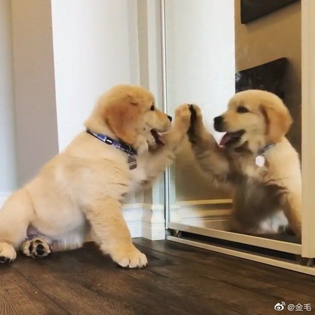 Golden Retriever Puppy Super Cooper Sunday Life With A Golden