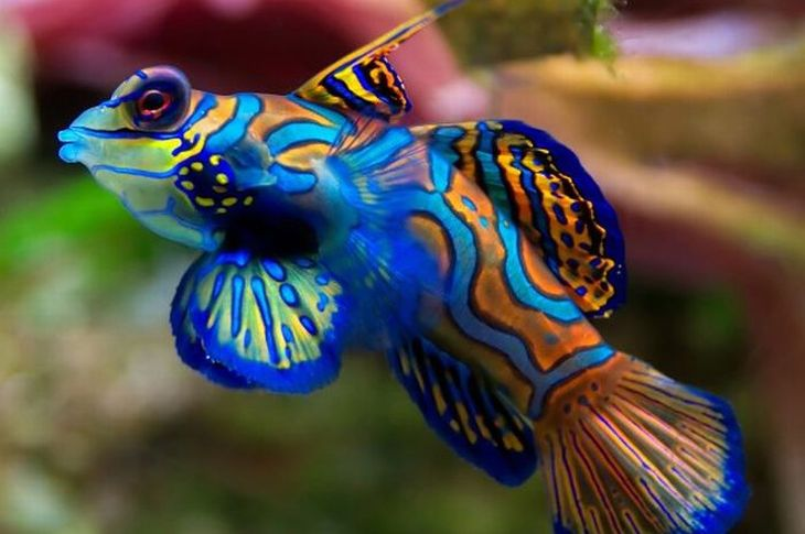 Peixe-Mandarim, Um dos mais conhecidos peixes coloridos do mundo, o peixe-mandarim obtém sua coloração fantástica através de um pigmento celular raro.  Eles têm uma cor de base azul brilhante, com redemoinhos na cor laranja e toques de verde e amarelo em torno da face e barbatanas.