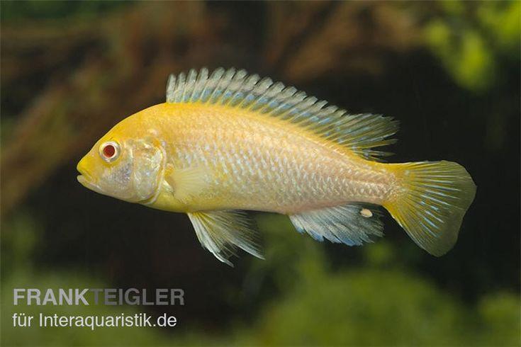 "Gelber Labidochromis ""Yellow Red Eyes"", Labidochromis caeruleus"