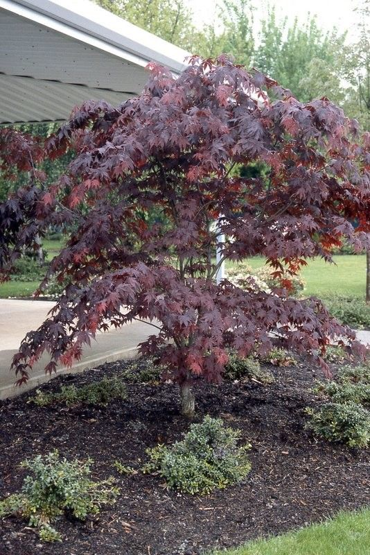 Outdoor Japanese Maples 38