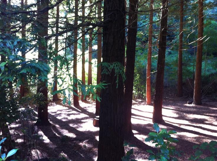 Our famour Redwoods! Te Mata Peak, Havelock North, New Zealand