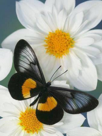 97 besten schmetterlinge bilder auf pinterest for Kleine fliegen an blumen