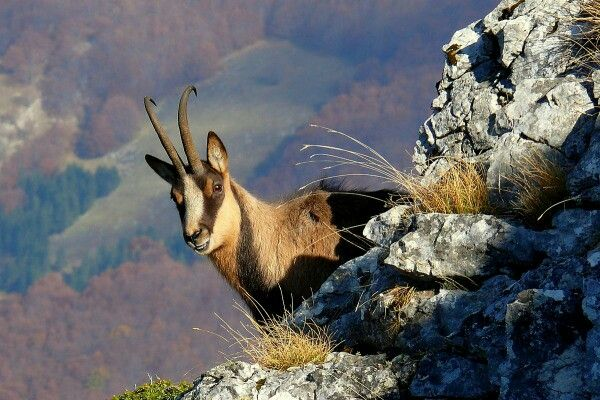 Camoscio d'Abruzzo - Abruzzo Chamois ( #Rupicapra pyrenaica ornata) A distinct subspecies that lives in our mountains where, miraculously, it had escaped extinction at the beginning of the 20th century. Very little was known about the life of this symbol of Apennine wild nature, perfectly adapted to a world of sheer rock walls and steep slopes, and able to survive both the capriciousness of the mountain climate and ambushes of bears, wolves and eagles #Abruzzen #Abruzzo #chamois #camoscio…
