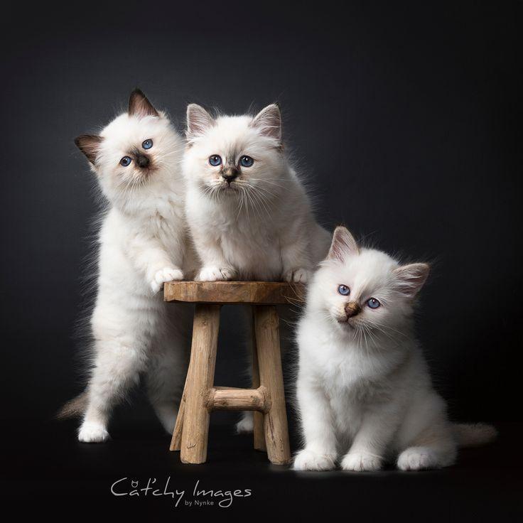Three Adorable Little Birman Kittens - Aww!