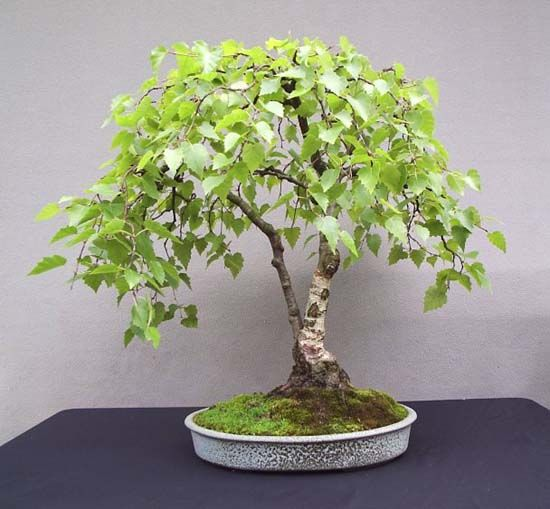 Birch Bonsai … inspiration for a spindly seedling