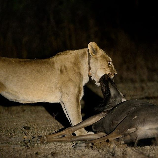 62 best pilanesberg game reserve images on pinterest game lioness suffocating wildebeest seen on night drive by edward peach peached image from the photographers guide to the pilanesberg national park ebook fandeluxe Ebook collections