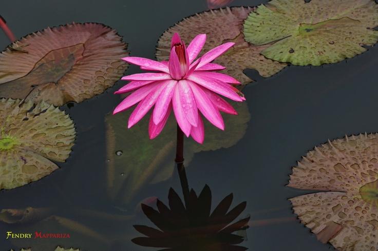 keindahan bunga teratai yang sedang merekah.....
