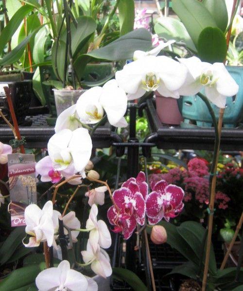 Consejos para iniciarte en el cultivo de las orquídeas...