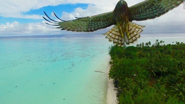 Bird attack: A magnificent bird attacks my drone, says photographer Actua Drone of this  image shot in French Polynesia.