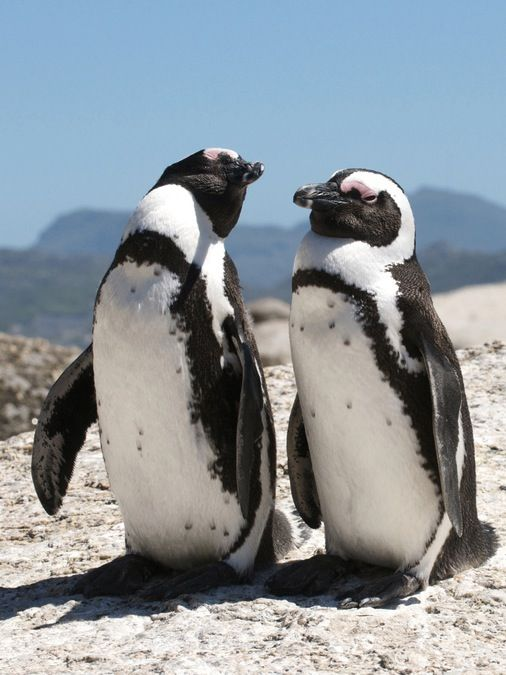 The African penguin, also known as the jackass penguin and black-footed penguin is a species of penguin, confined to southern African waters. Wikipedia