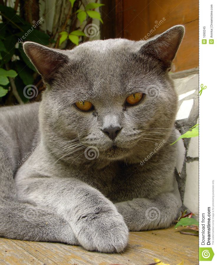 Russian Blue Cat Animal Planet