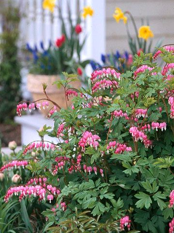 Bleeding Heart is a lovely perennial shade plant.  I had to transfer mine from full sun (where our house's previous owner planted it) to shade.  In the sun, it withered away by mid-summer.  Plant them in the shade!