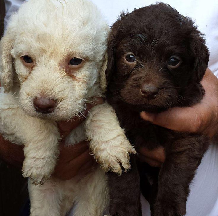 pictures of miniature labradors | multigen-double-doodle-miniature-labrador-pups-541af16ad261e.jpg