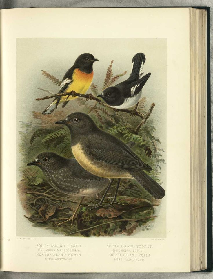 South-Island Tomtit & North-Island Robin & North-Island Tomtit by JG Keulemans (from Walter Buller's 'A History of The Birds of New Zealand' - 1870's)
