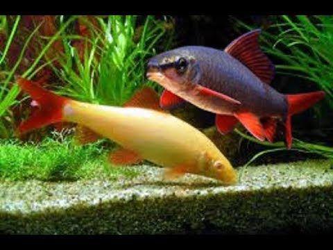 ikan hias aquarium, ikan hias air tawar yang sangat mahal yang dapat anda pelihara dirumah. ikan merupakan hewan yang sangat cocok dan banyak di sukai oleh s...
