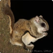 This is a flying squirrel indigenous to North America. They are 8-10 inches in size and live about 10 years in captivity. They are nocturnal omnivores.  Cuteness Rating: 6
