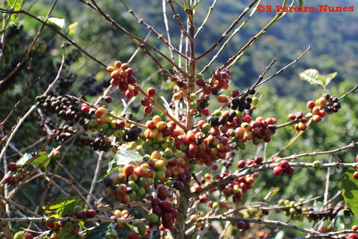 https://flic.kr/p/21C1QuW | Café, Coffee tree, the Gold of El Salvador | SN/NC: Coffea arabica, Rubiaceae Family