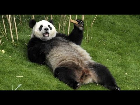 Top 10 Funny And Cutest Panda Videos Compilation - Funny ...
