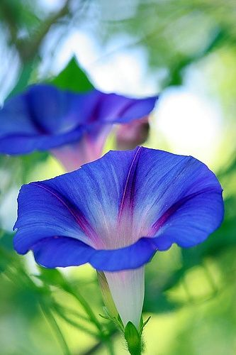 Beautiful Blue Morning Glories