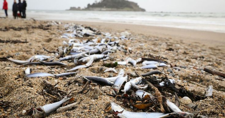 Hundreds of dead fish, seagulls and a common dolphin have washed up on Marazion beach
